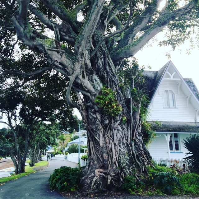 This huge fig tree in front of a colonial househellip