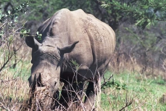 wildlife neushoorn Zuid-Afrika