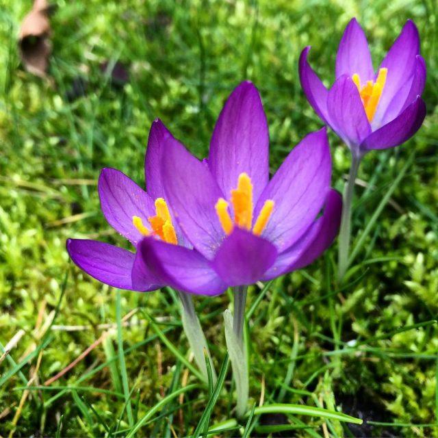Spring is here in my garden! spring springtime spring2017 lentehellip