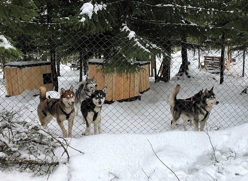 Hondensledetocht in Zweden met kinderen