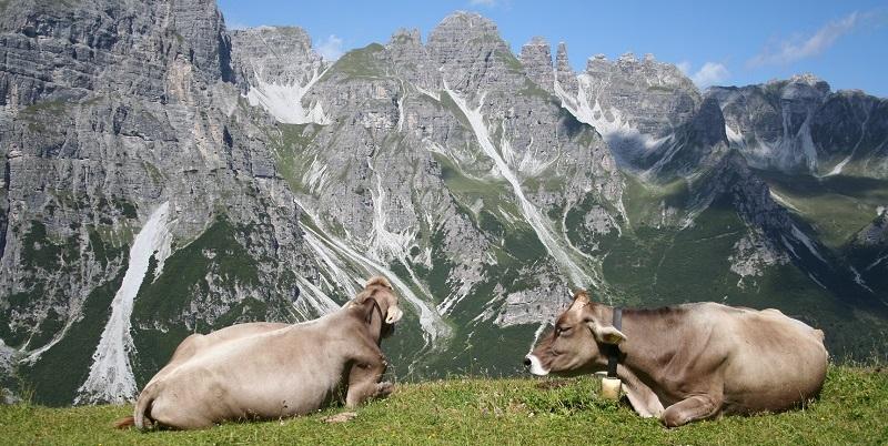 Koeien, Schlick 2000 in Oostenrijk