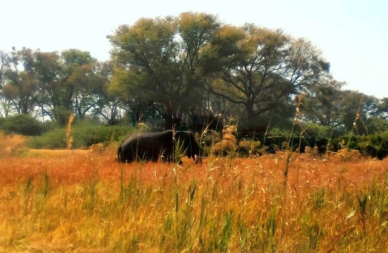 Een olifant in de Okavango Delta