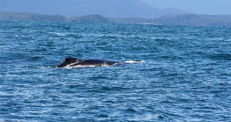 Walvissen spotten bij Vancouver Island