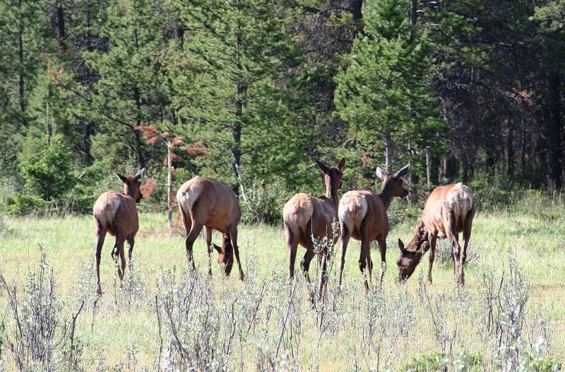 Overstekende kariboes