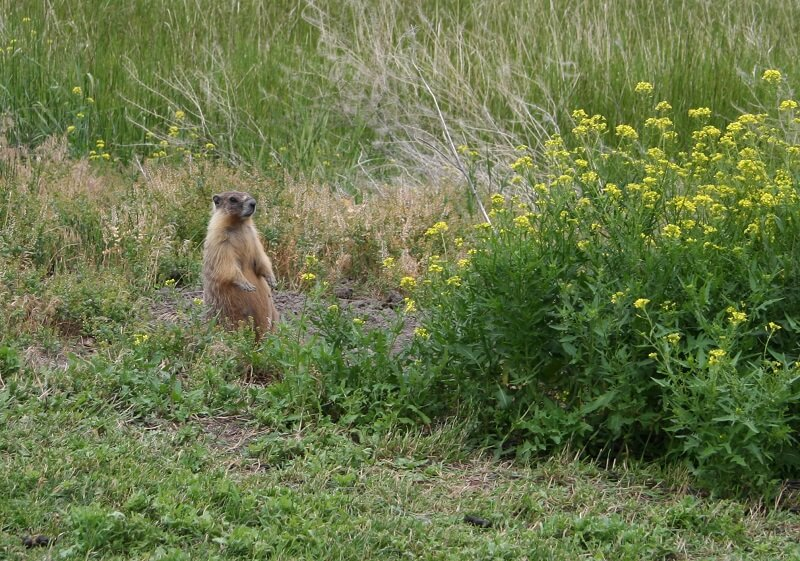Wildlife groundhog in Canada