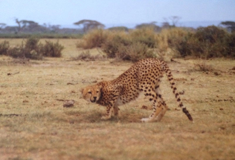 Wildlife in Kenia, cheetah