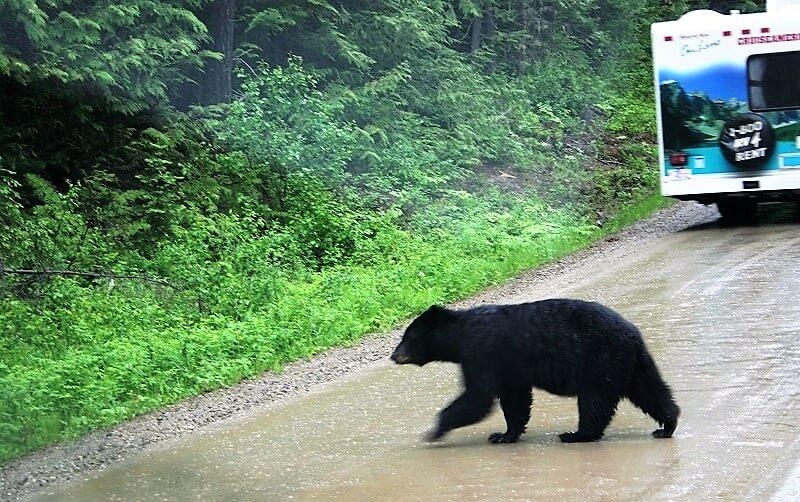 beren en watervallen in Wells Gray