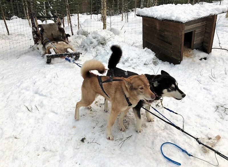 Hondensledetocht in Zweden